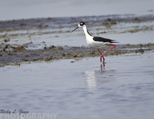 Black-necked Stilt by Ricky L. Jones Photography