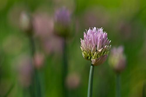 flowers flower macro floral colorado bokeh chives denverbotanicgardens