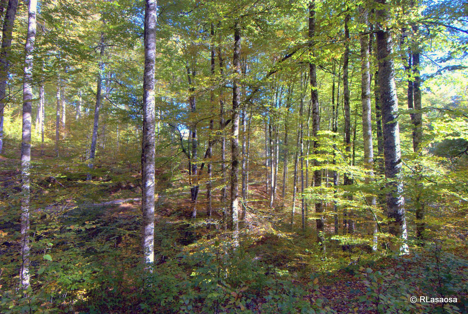 Hayas del bosque de Irati. Autor, Rufino Lasaosa