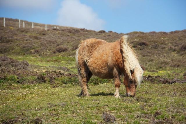 Shetland Pony on Yell!