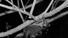 Cicada upside-down on stem (2013 Brood II, Magicicada septendecim, also called Pharaoh Cicada or the 17-year Locust)