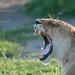 Female Lion by Raymond J Barlow