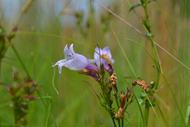 Penstemon digitalis (beardtongue) on the Visitor Center's living roof. Photo by Blanca Begert.