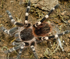 wolf spider(0.0), arthropod(1.0), animal(1.0), spider(1.0), invertebrate(1.0), macro photography(1.0), european garden spider(1.0), fauna(1.0), tarantula(1.0), wildlife(1.0),