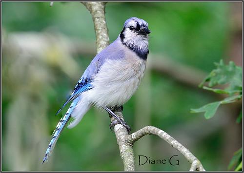 Blue Jay     24