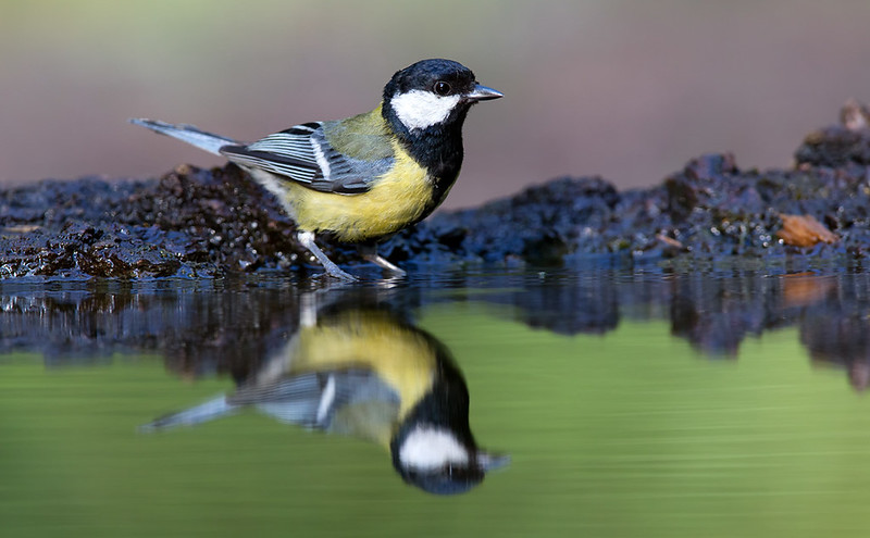 Great Tit  [adult]