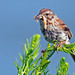 Song Sparrow by Brian E Kushner