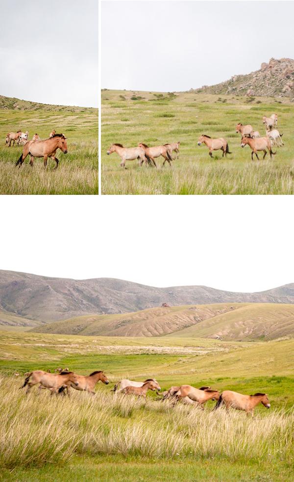 Mongolian Przewalski horses