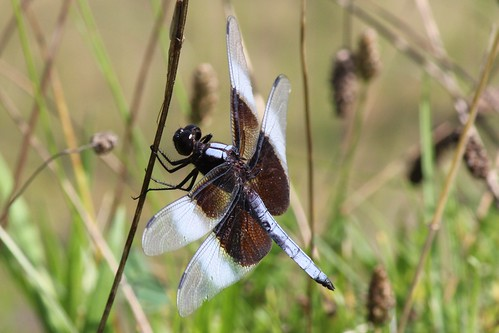 IMG_1099_Widow_Skimmer_Dragonfly