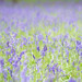 Ashridge Bluebells 1 of 2 by Today is a good day