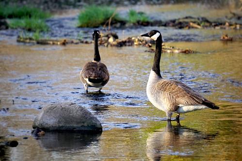geese iowa goose polkcounty thomasmitchell thomasmitchellpark