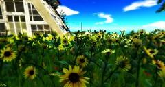 Sunflowers in my garden :)
