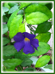 Vivid purpe bloom of Thunbergia erecta (King's Mantle, Bush Clock Vine), June 24 2014