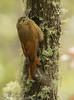 Black-banded Woodcreeper / Dendrocolaptes picumnus / Trepatroncos Rayado