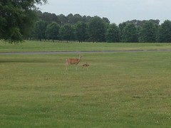 Doe and Fawn at Berry College