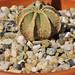 Aztekium hintonii Glass & W.A.Fitz Maur. by chemazgz
