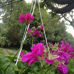 Fuschia geraniums. So pretty. #flower