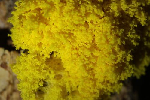 Scrambled Egg Slime - Fuligo septica