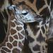 Cría de jirafa Baringo en BIOPARC Valencia (noviembre 2016)