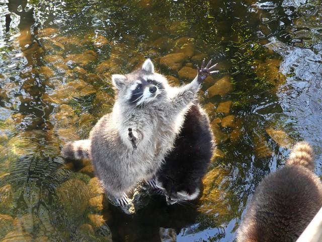 Waschbär Aqua Zoo