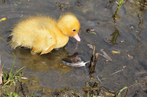 Eendenkuiken / Duckling (4 photo's)