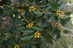 evergreen, shrub, leaf, yellow, tree, plant, flora, fruit, loquat,