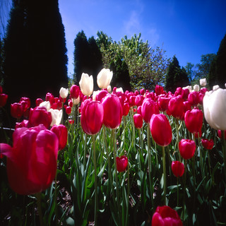 Tulips on World Pinhole Day 2012 (6x6 Pinhole Photo)