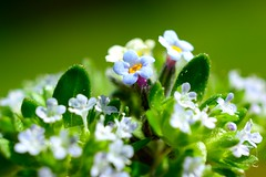 annual plant, flower, leaf, plant, nature, wildflower, flora, green, forget-me-not, moisture, close-up, petal,