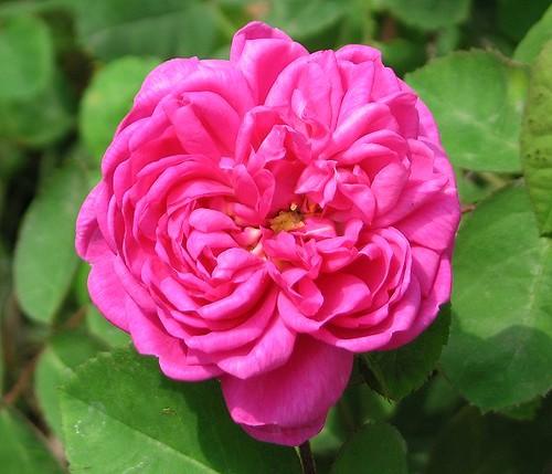 """Portland Rose """"Rose de Rescht."""" by Leenechan"""
