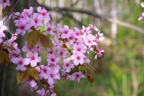13.5.21.桜