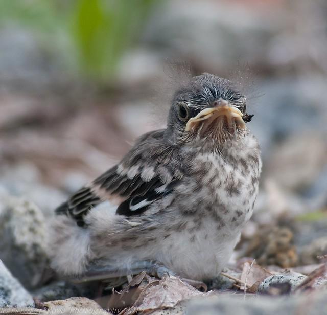 Found A Baby Bird? Here's What To Do  Newborn Mockingbird