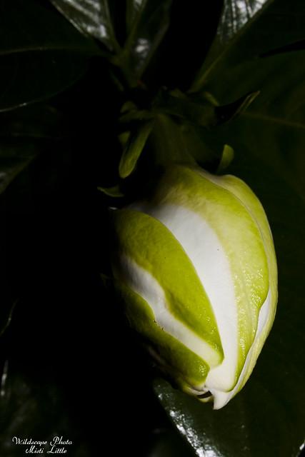 gardenia1