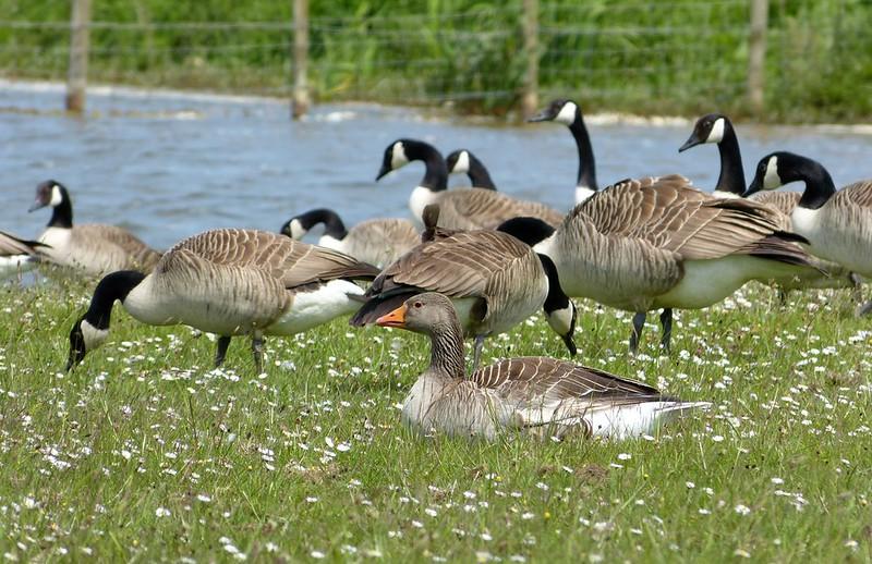 P1050009 - Greylag Goose, Kenfig NNR