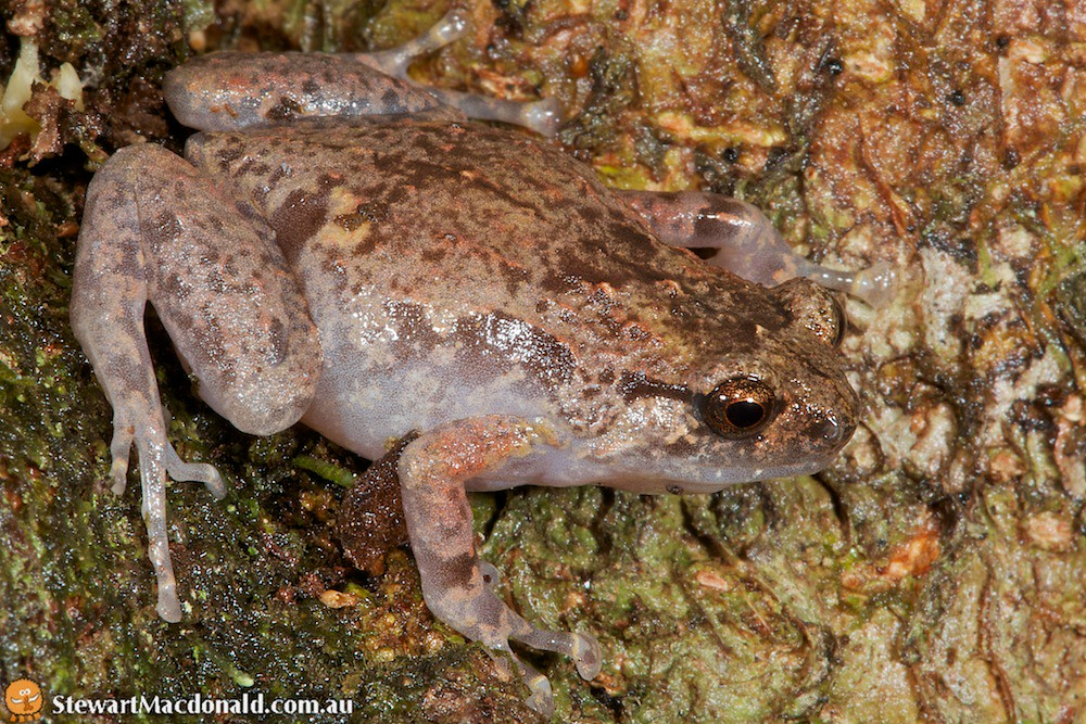 Northern ornate nursery-frog (Cophixalus ornatus)