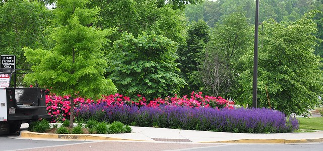 May Night' Salvia and 'Knock Out' Rose | Flickr - Photo Sharing!
