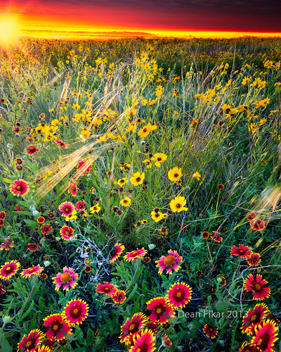 red sky sun sunlight plant flower green nature floral beautiful field yellow rural sunrise landscape dawn golden colorful texas unitedstates bright wind blossom indian country sunny nobody sunflower rays sunrays benbrook indianblankets