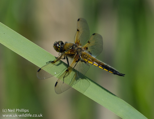4 spotted chaser male Libellula quadrimaculata