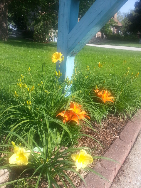 Day Lilies Blooming