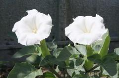 flower(1.0), datura inoxia(1.0), ipomoea alba(1.0), flora(1.0), petal(1.0),