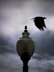 crow leaving a lamp-post (dark - ghostly)