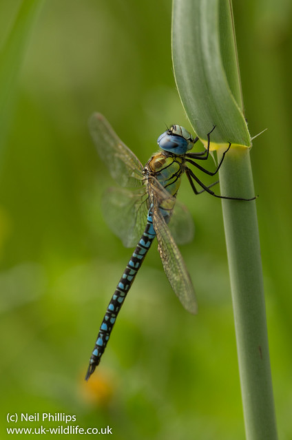 Southern migrant hawker Aeshna affinis-2