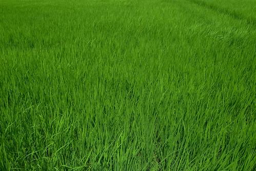 夏の空、夏の稲