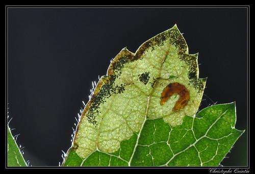 Mine et larve de Stigmella regiella sur Crataegus monogyna