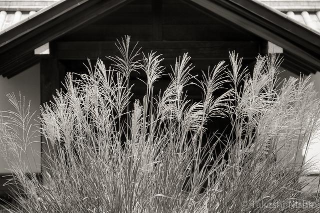 ススキ / silver grass