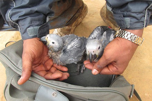 captured fledglings