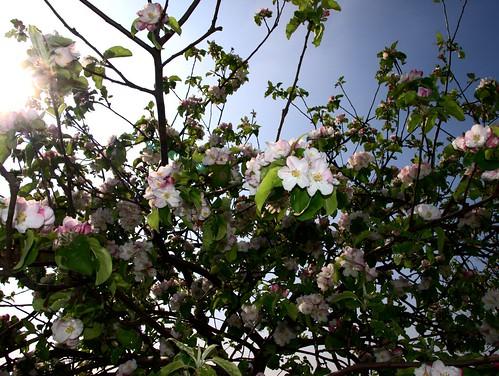 Apfelbaum im Gegenlicht