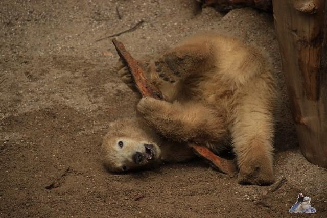 Eisbär Fiete im Zoo Rostock 04.05.2015 75