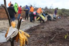 Take off the gloves: Native grass planting, Merri Creek at Fawkner