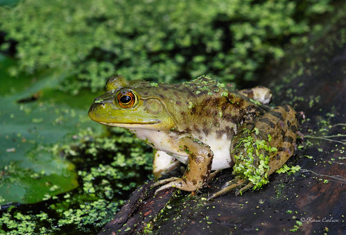 Green Frog    [Explored]