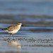 Grey or Black-bellied Plover by Hardik Pala